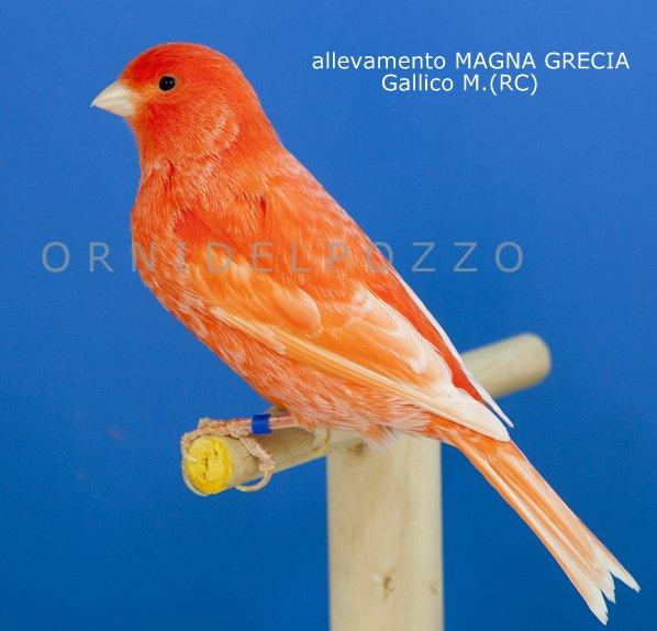 Aviario lhman criadores rojo magna grecia for Lugano marfil