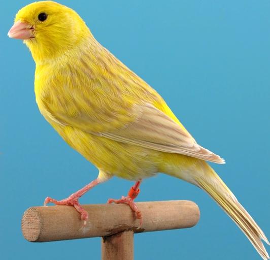 ---CLASES de canarios - J.M.H.R.